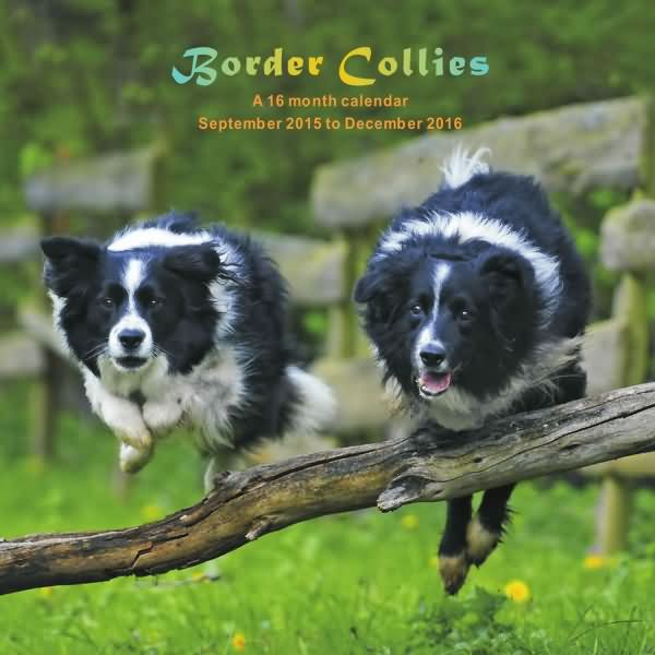 just border collie calendar 2016